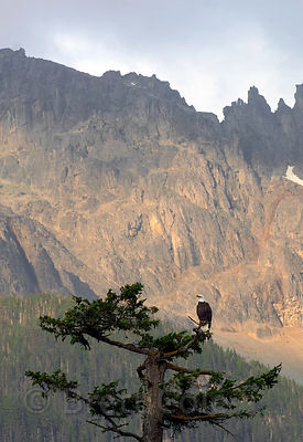 Bald eagle (Haliaeetus leucocephalus) perched atop a broken-topped old Douglas-fir, with 10,000 ft. Nusatsum Mtn. in the background. Great Bear Rainforest, Nuxalk Territory, British Columbia