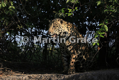 Male Jaguar (Panthera onca) known as Marley, in early morning dappled sunlight and looking to our left, River Cuiabá, Northern Pantanal, Mato Grosso, Brazil; Image 2 of 3