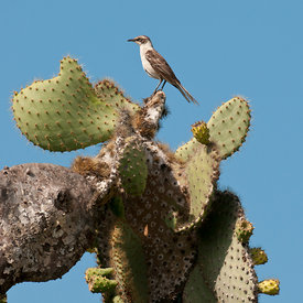 Galapagos Mockingbird wildlife photos