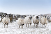 Flock of swaledale  sheep in the snow. Hawes, North Yorkshire, UK.