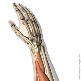 Forearm images