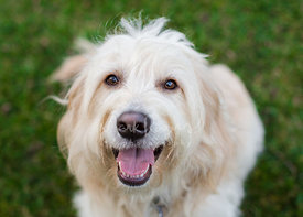 Cream Golden Retriever Poodle Mix Smiling up at Camera Sitting on Grass