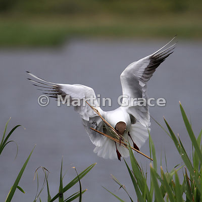 Black-Headed Gull (Larus ridibundus) in flight, Leighton Moss, Lancashire, England