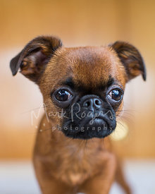 Brussels Griffon Puppy Face Close-up