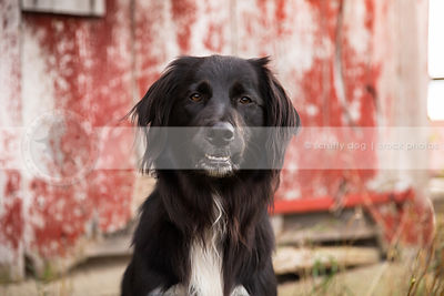 portrait of intense black and white longhaired dog staring at camera