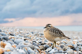 Eurasian Dotterel Charadrius morinellus juvenile, migrant on beach at Cley North Norfolk September