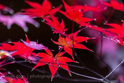 HR-JapaneseMaple-Fall-9781
