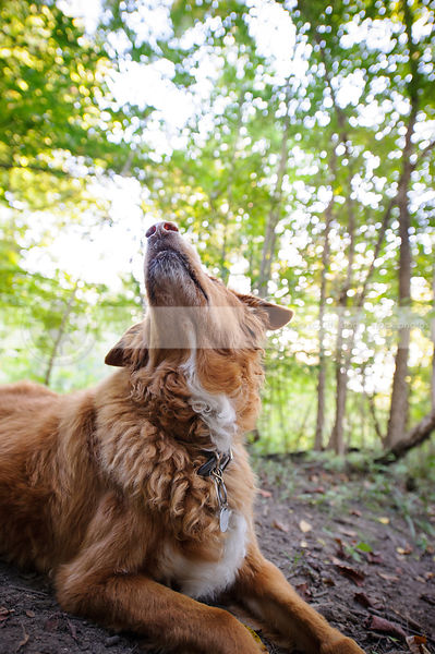 red dog lying in forest looking skyward