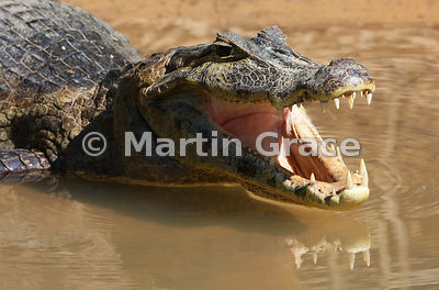 Yacaré (Jacaré) Caiman (Caiman yacare) in water with its mouth open and a reflection of the lower jaw, Porto Jofre, Mato Grosso, Brazil