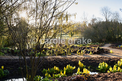 The bog garden at Forde Abbey in April with the new shoots of a weeping willow backlit by morning sunlight amongst Lysichiton americanus, the skunk cabbage