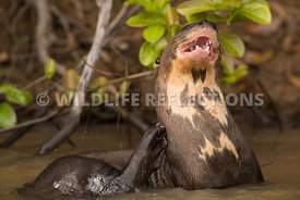 giant_otter_itching-4
