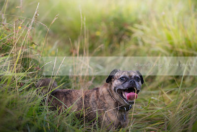 hot little brindle dog panting standing in tall grasses in summer