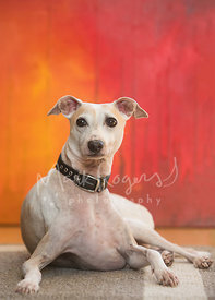 White and Tan Italian Greyhound Lying In Front of Orange and Red Painting