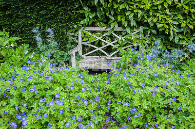 Wooden seat surrounded by Geranium Rozanne = 'Gerwat' and spikey eryngiums. Bosvigo, Truro, Cornwall, UK