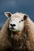 Texel yearling ram in meadow. Cumbria, UK