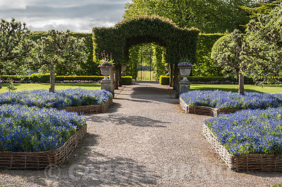 The Summer Garden with central archway of Portugese lauel and hurdle beds full of forget me nots below pollarded silver pears, Pyrus salicifolia. Holker Hall, Grange over Sands, Cumbria, UK