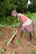 Child using a hoe in a lush vegetable garden with torn clothes. Kenya