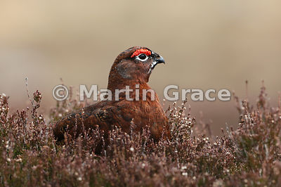 Male Red Grouse (Lagopus lagopus scotica), April 7, Lochindorb, Scottish Highlands