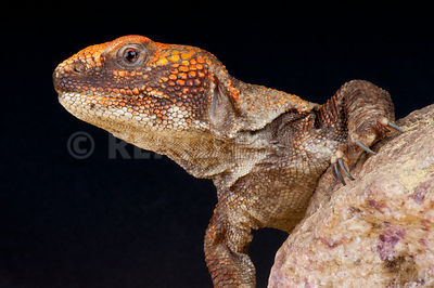 Morrocan spiny-tailed agama (Uromastyx acanthinurus) photos