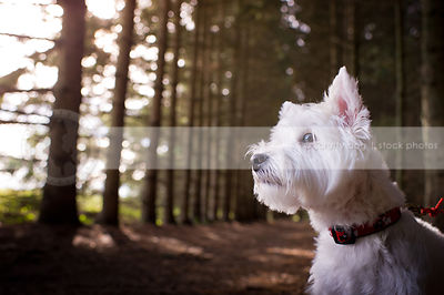 headshot of small groomed white dog in sparkly pine forest