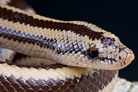 Lichanura trivirgata, Rosy Boa, Arizona, USA