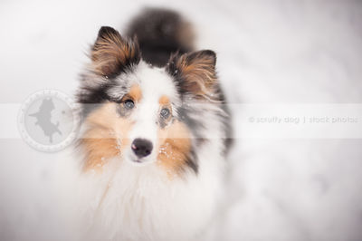 headshot of sweet tricolor dog staring upward from snow