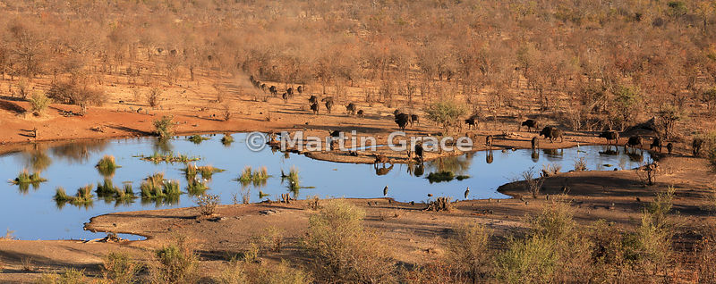 Waterhole with mixed wildlife (including Cape Buffalo, Guineafowl, Marabou Stork and egrets), below Victoria Falls Safari Lodge, Zimbabwe