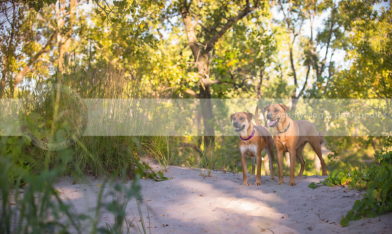 two cross breed tan dogs waiting together on sand dune
