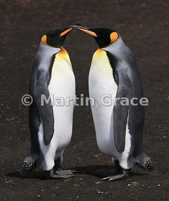 Pair of King Penguins (Aptenodytes patagonicus) standing silently together in identical postures as part of their courtship ritual, Volunteer Point, East Falkland, Falkland Islands