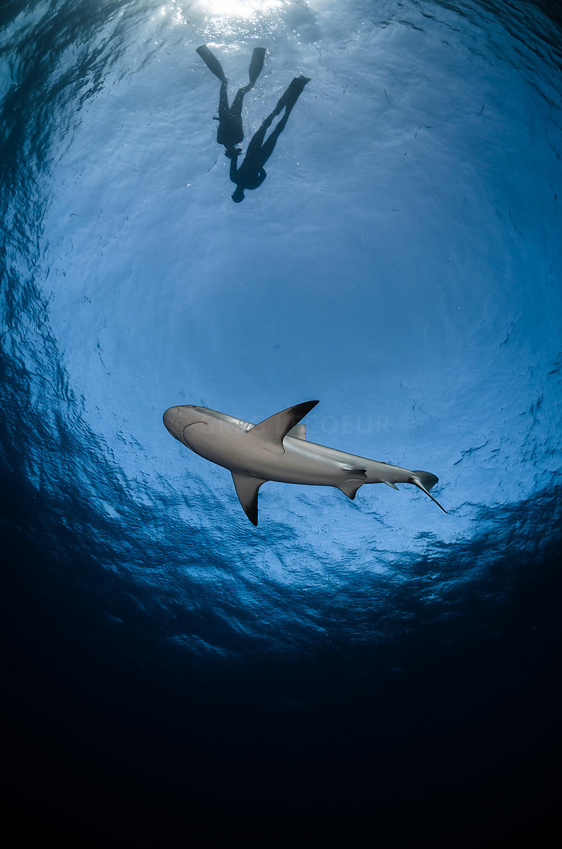 Caribbean reff shark and free divers