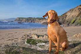 Red Vizsla with Serious Expression Sitting on Rock at Beach with one ear raised and sweeping cliffs and blue water in background