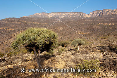 Dragon blood tree ( Draceana ombet ) on the Daallo escarpment, Somaliland, Somalia