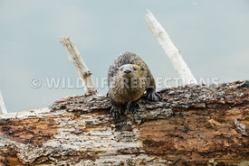river_otter_pup_on_log-3