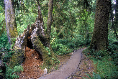 An inviting trail through old-growth Sitka spruce (Picea sitchensis) rainforest, Hoh River, Olympic National Park, Washington