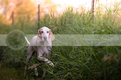 large white hound with floppy ears running in tall grasses