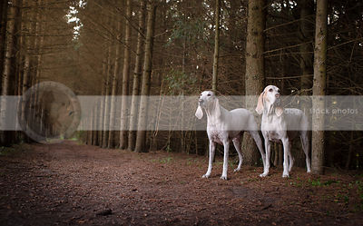 two large white hounds standing in pine forest