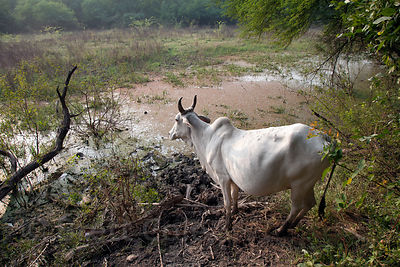Cow in wetlands in Keoladeo National Park, Bharatpur, India. Despite being banned from the park there are countless cows inside the park that cause great damage.