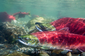 SOCKEYE SALMON 2: Sun-dappled Courtship