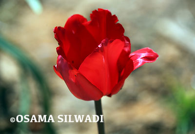 Wildflowers of Palestine - Tulipa agenensis