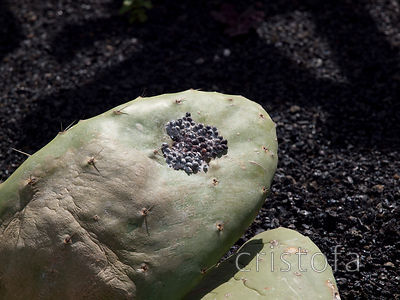 cochineal farming - the beetle grows on Opuntia (prickly pear) cactus