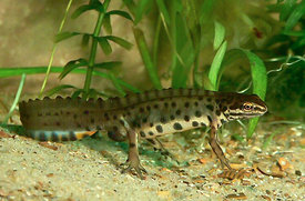 Common smooth newt - Lissotriton vulgaris vulgaris