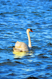 Swan_on_Lake_Bracchia_in_oil