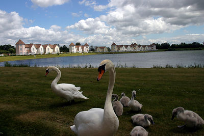 .Swans at The Watermark, A Gated Community, near Cirencester, UK