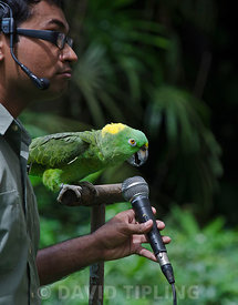 Amigo a Yellow-naped Amazon Parrot and the star of the Birds N Buddies Show at Jurong Bird Park in Singapore can sing in three different languages