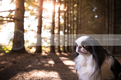 little white and black longhaired dog in pine forest with sunflare