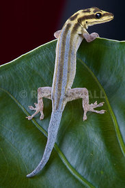 Lygodactylus picturatus, White-headed dwarf gecko, Tanzania