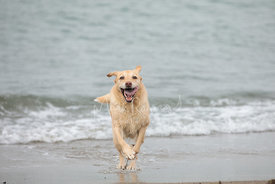 Yellow Lab Running Full Speed Toward Camera in Surf