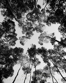 Trees, looking up