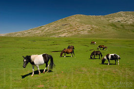 Horses and green meadow