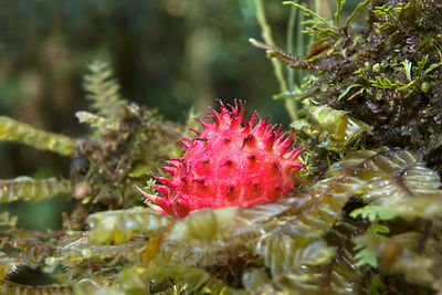 Bright red spiked fruit that has fallen from the overstory onto a mossy branch, Las Nubes, Costa Rica